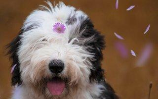 Замечательная собака для семьи – знакомимся со Староанглийской овчаркой