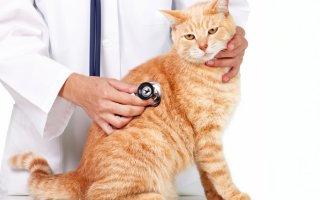Что такое кошачий хламидиоз, и как с ним бороться?