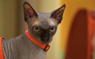 Кошка сфинкс — что за чудо, откуда произошло и что от нее ожидать