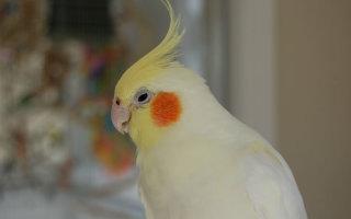 Вопрос от читателя: непонятная болезнь у попугая Корелла