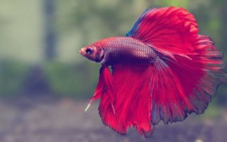"Рыбка – петушок: ""волшебство"" в Вашем аквариуме"
