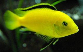 Маленькое солнце в вашем аквариуме – желтый лабидохромис