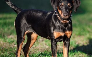 Ягдтерьер – отменный охотник и преданный друг семьи