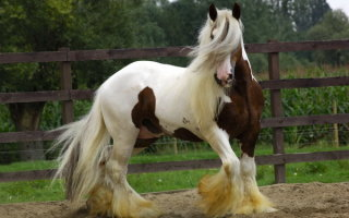 Тинкер – красивые, элитные и дорогие лошади, покорившие сердца конников