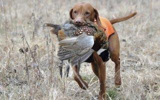 Какую собаку выбрать для охоты?