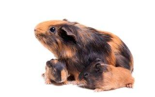 Все, что нужно знать о разведении морских свинок