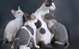 Все об изысканных и богемных кошках породы Корниш рекс