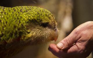 Заморский гость, не умеющий летать: все о попугае Какапо