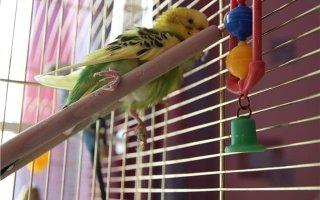 Перелом лапки попугая: чем помочь птице?