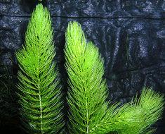 Темно-зеленый цератофиллум