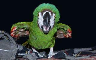 Все об агрессии у попугаев