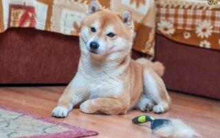 Что делать во время линьки у собаки?
