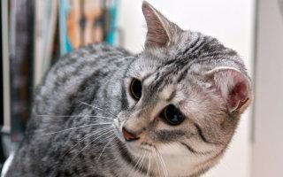Египетская мау – кошачья экзотика для настоящих эстетов