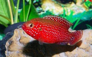 Яркие обитатели аквариума – хромисы