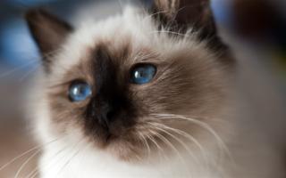 Священная бирманская кошка – кто она?