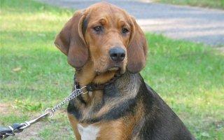 Лучшие породы гончих собак
