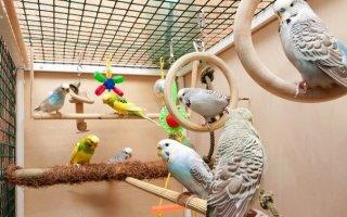 Как содержать попугайчика в домашних условиях