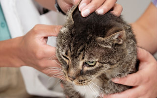 Ушки на макушке или правильно чистим уши коту