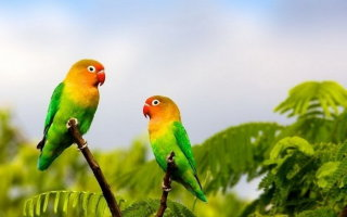 Все об обитателях Мадагаскара – попугаях Неразлучниках
