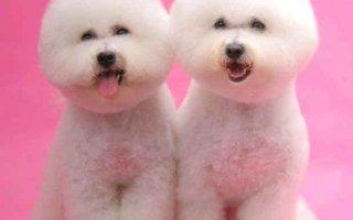 Бишон Фризе – веселая собачка похожая на игрушку
