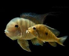 Рыбки подвида бальзани