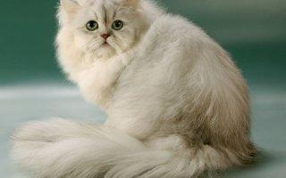 Персидская шиншилла – кошка королевы Виктории