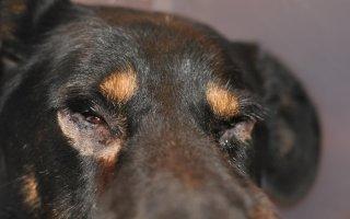 Микоплазмоз у собак: что делать, когда болезнь атакует?