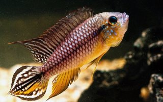 Модная рыбка Апистограмма