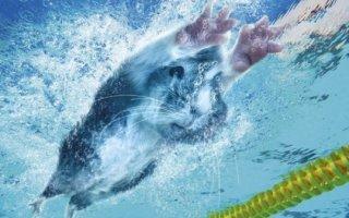 Банный день для морской свинки