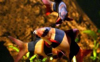 Красочные боции – находка для вашего аквариума
