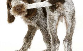 Параанальные железы у собак: все, что нужно знать владельцам