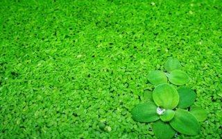 Полезное растение в вашем аквариуме: ряска