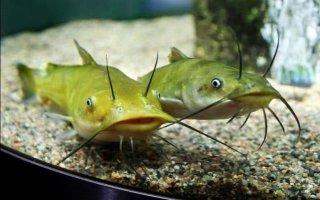 Аквариумные сомики: виды рыбок и уход за ними