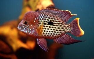 Микрохищник к аквариуме яркого окраса – бирюзовая акара