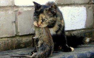 Существуют ли коты-крысоловы?