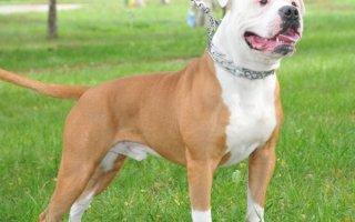 Американский бульдог или Амбуль – собака не для всех!