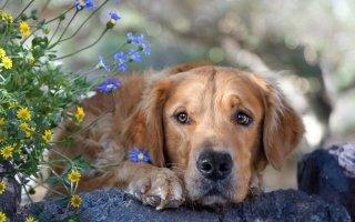 Пироплазмоз или бабезиоз у собак: как уберечь четвероногого друга от гибели?