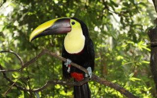 Изучаем попугая Тукан: как содержать птичку дома