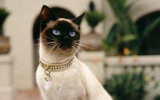 В доме Сиамская кошка: что нужно знать о ней?