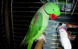 Чудо-птица, привезенная А. Македонским, – Александрийский попугай