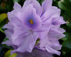 Цветок гиацинта