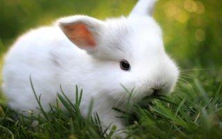 Исключаем вредные травы из рациона декоративного кролика