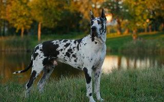 Немецкий дог – Аполлон среди собак и преданный друг
