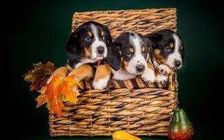 Самая маленькая пастушья собака Швейцарии – Энтлебухер Зенненхунд