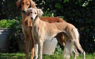 Салюки – собака, бьющая рекорды скорости