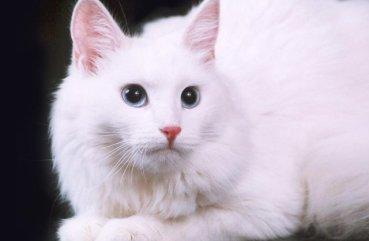 ангорская порода кошек особенности