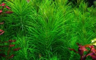Погостемон – изящная звездочка в аквариуме