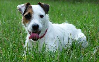 Типичные норные собаки – Парсон Рассел терьеры