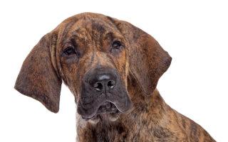 Гроза Бразилии – лучший охотник и охранник среди собак Фила Бразилейро