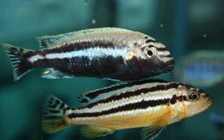 Воинственный меланохромис ауратус – рыбка не для начинающих